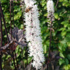 Actaea simplex 'Brunette' (Sølvlys)