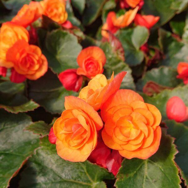 Begonia x elatior Elatior Begonie / Høst Begonie