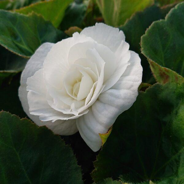 Begonia tuberhybrida Knoldbegonie