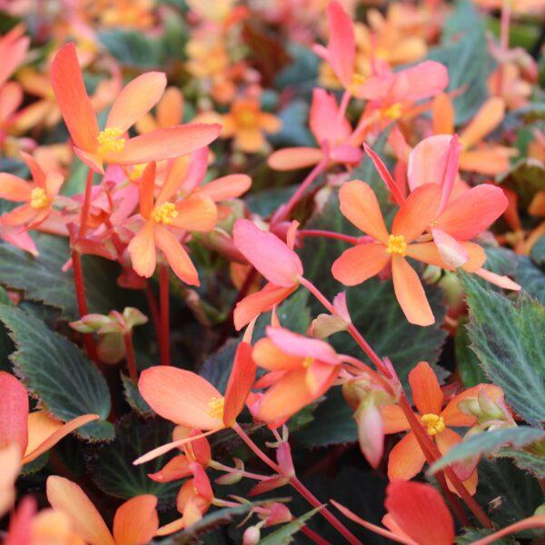 Begonia hybrid 'Glowing Embers Begonie