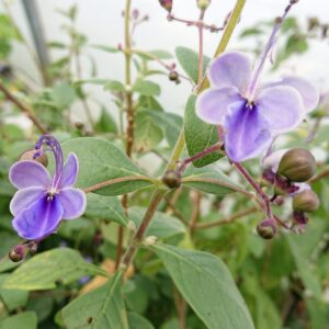 Clerodendrum ugandense 'Blue Wing'
