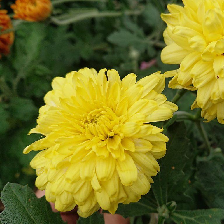 Chrysanthemum indicum (Vinterasters)