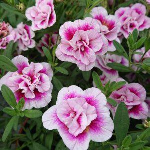 Calibrachoa x hybrida Dobbelt Million Bells