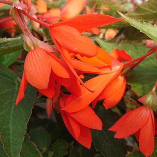 Begonia boliviensis Hænge Begonie
