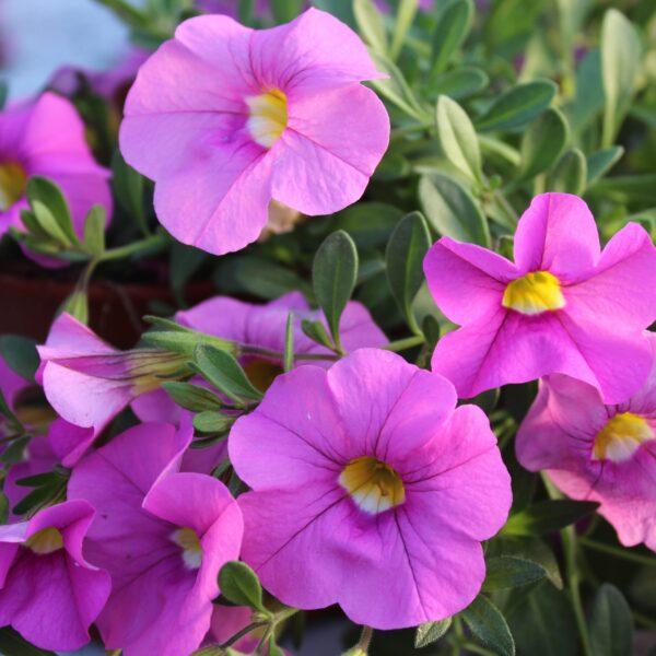 Calibrachoa x hybrida Million Bells