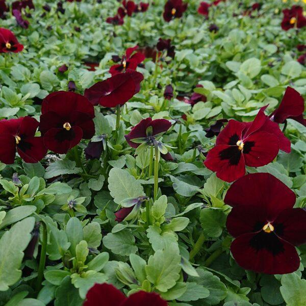 Viola cornuta Hornviol
