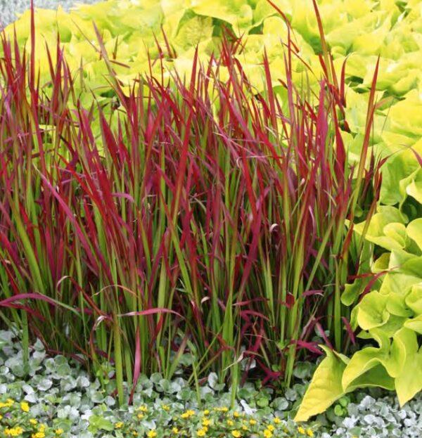 Imperata cylindrica 'Red Baron' Japansk Blodgræs