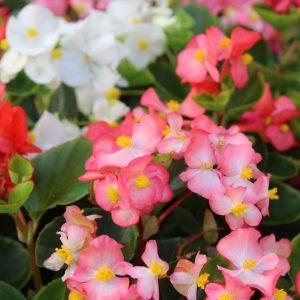 Begonia semperflorens Isbegonie