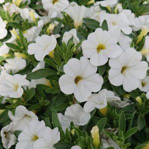 Calibrachoa x hybrida 'Calipetite 'Kompakt Million Bells