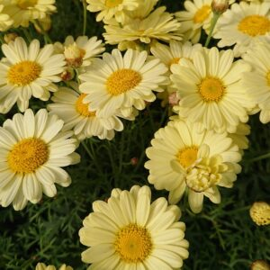 Argyranthemum frutescens Marguerit Fyldt