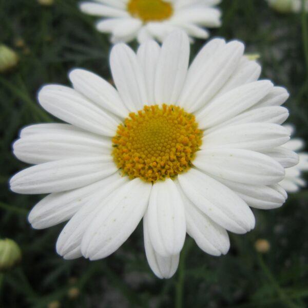 Argyranthemum frutescens Marguerit Alm.