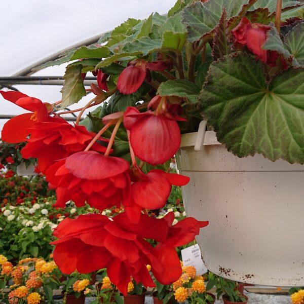 Begonia tuberhybrida Illumination Hænge Knoldbegonie