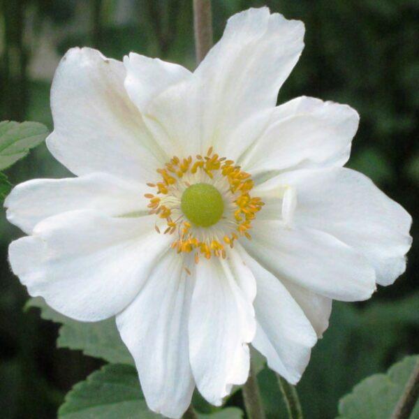 Anemone hupehensis 'Honorine Jobert' (Høstanemone)