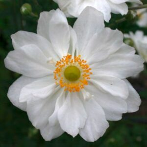 Anemone hupehensis 'Whirlwind' (Høstanemone)