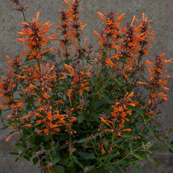Agastache 'Kudos Mandarin' (Anisisop)