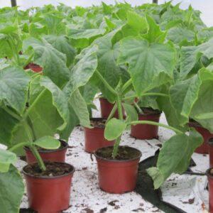 Agurk planter