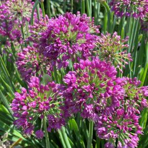 Allium 'Lavender Bubbles' (Prydløg)