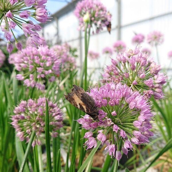 Allium Millenium (Prydløg)