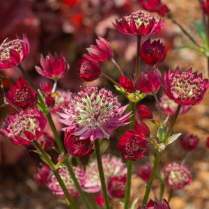 Astrantia major 'Star of Treassure' (Stjerneskærm)