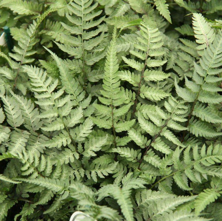 Athyrium niponicum 'Metallicum' (Japansk Fjerbregne)