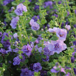 Sutera diffusus (Fyldt Bacopa / Snowflake / Snedrys)