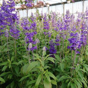 Salvia farinacea (Blå Salvie / Texassalvie)