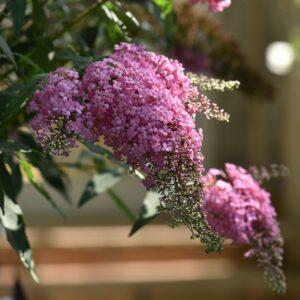 Buddleja cultivars 'Pink Cascade' (Sommerfuglebusk)