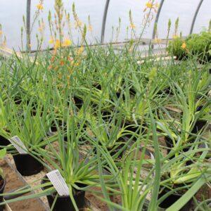 Bulbine frutescens 'Medicus' (Kattehaleplante)