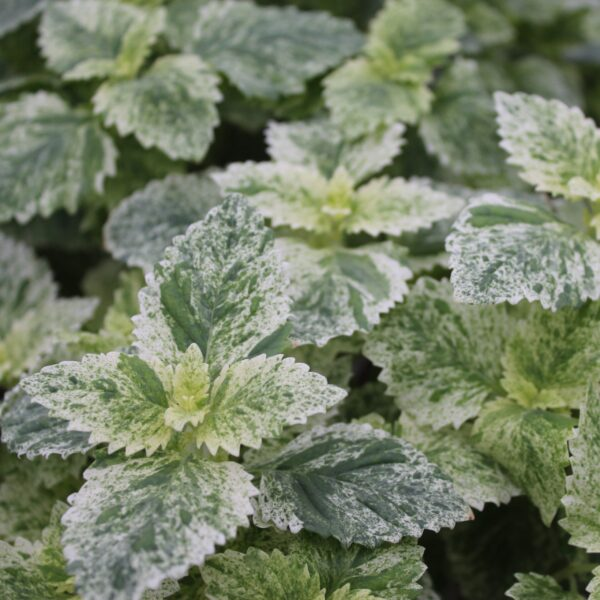 Calamintha grandiflora 'Variegata' (Rosenmynte)