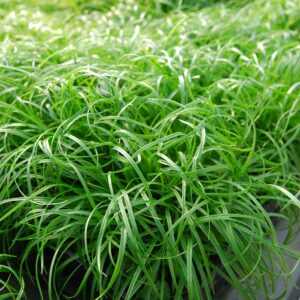 Carex caryophyllea 'The Beatles' (Skov star)