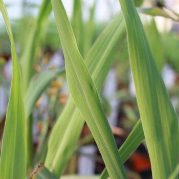 Cymbopogon citratus (Citrongræs)