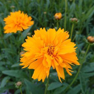 Coreopsis grandiflora 'Early Sunrice' (Skønhedsøje)