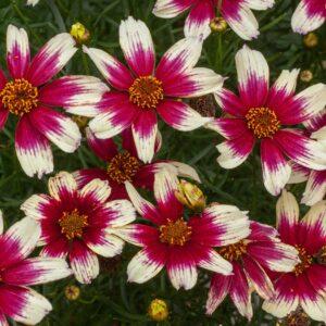 Coreopsis verticillata 'Sunstar Rose' (Skønhedsøje)