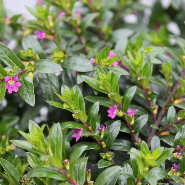 Cuphea hyssopifolia (Japansk Myrte)