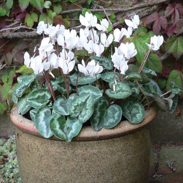 Cyclamen hederifolia 'Pure White' (Alpeviol)