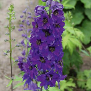 Delphinium Magic Fountains 'Dark Blue' (Ridderspore)