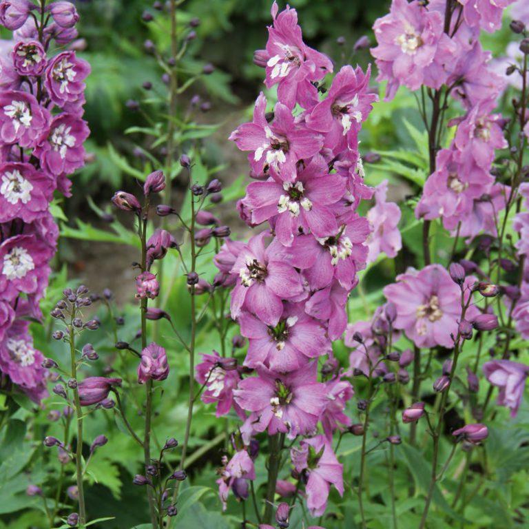 Delphinium hybrids Magic Fountains 'Lilac Pink' (Ridderspore)