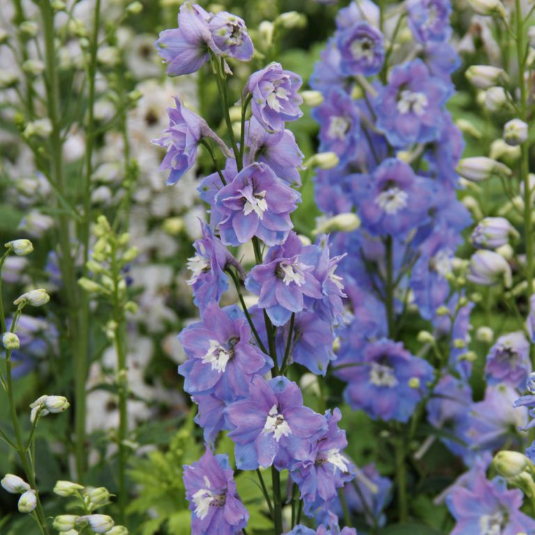 Delphinium 'Magic Fountain 'Sky Blue' (Ridderspore)