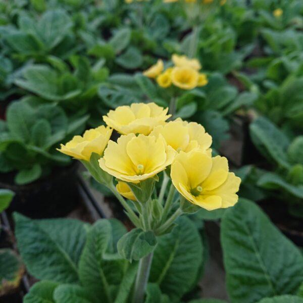 Primula officinalis 'Lemon'