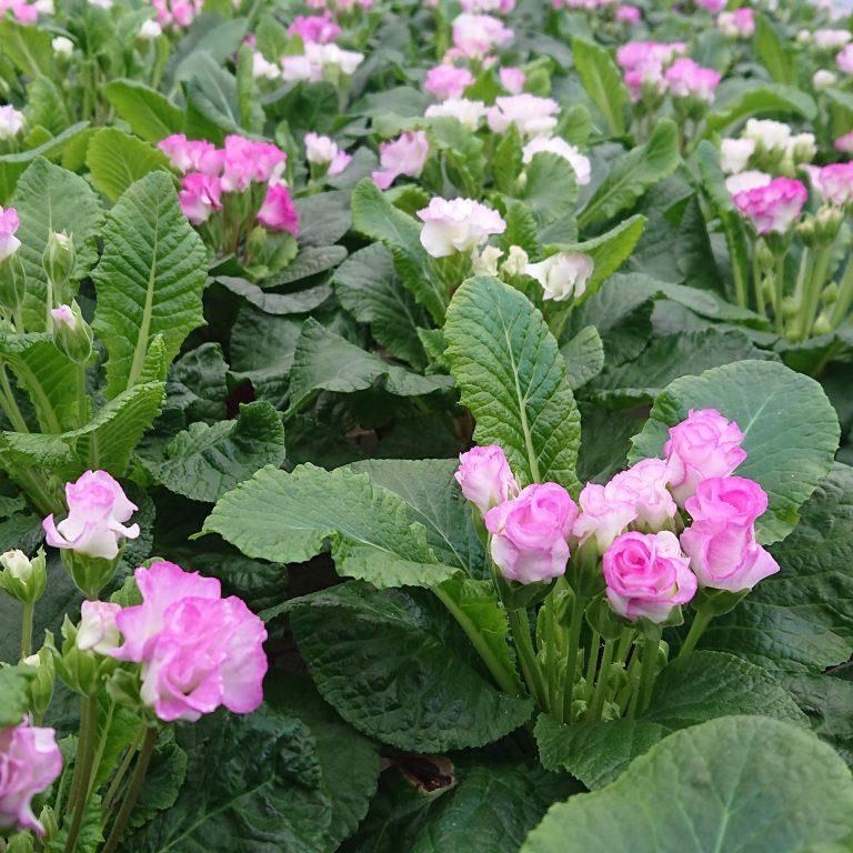 Primula vulgaris 'Suze' (Dobbelt Primula)