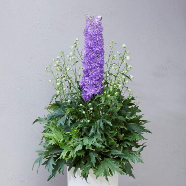 Delphinium hybrids 'Delgenius Breezin' (Ridderspore)