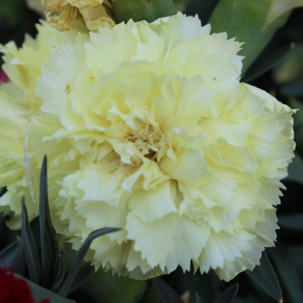 Dianthus caryophyllus (Duft Nellike)