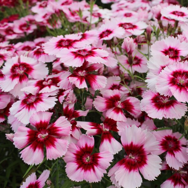 Dianthus chinensis (Nellike)