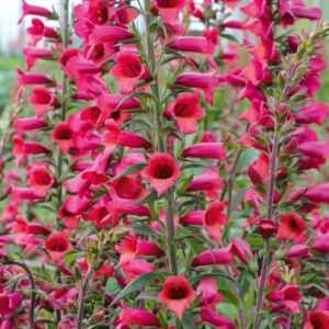 Digitalis x hybrida 'Illumination Cherry Brandy' (Fingerbøl)