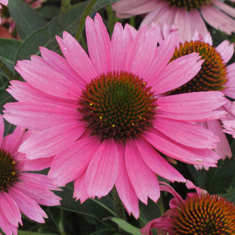 Echinacea purpurea Papello Compact Rose' (Purpursolhat)