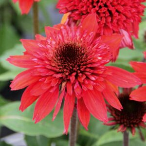 Echinacea purpurea 'Semi Double Cherry' (Purpursolhat)
