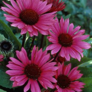 Echinacea purpurea 'Fatal Attraction' (Purpursolhat)