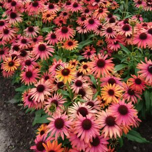 Echinacea purpurea 'Fountain Orange Bicolor