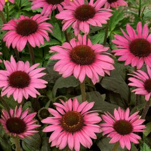 Echinacea purpurea 'Little Magnus' (Purpursolhat)