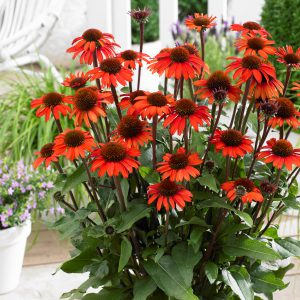 Echinacea purpurea 'Sunseekers Orange' (Purpursolhat)